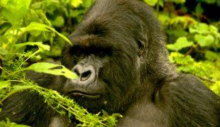 Kenya ve Ugandada Gorillerin İzinde